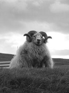 Islandi lammas